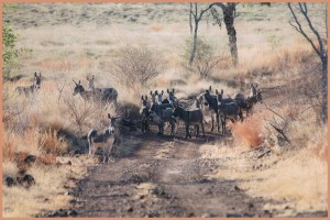 Feral Donkeys on the road to Mistake Creek